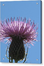 A Thistle At Noon Acrylic Print