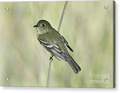 Acadian Flycatcher Acrylic Print by Anthony Mercieca