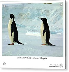 Adelie Penguins Acrylic Print by David Barringhaus