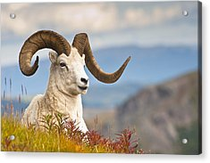Adult Dall Sheep Ram Resting Acrylic Print by Michael Jones