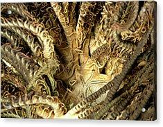 Aequorea Pensilis Acrylic Print by Natural History Museum, London