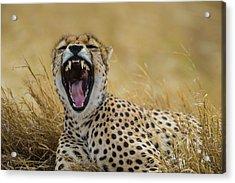 Africa Tanzania Cheetah (acinonyx Acrylic Print