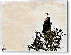African Fish Eagle Acrylic Print