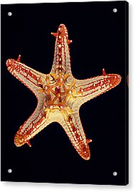 African Star Acrylic Print by William A Conklin