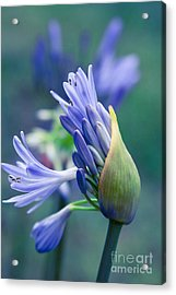 Agapanthus Orientalis - Lily Of The Nile Acrylic Print