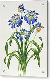Agapanthus Acrylic Print by Sally Crosthwaite