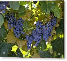 Agriculture - Concord Tablejuice Grapes Acrylic Print