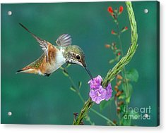 Allens Hummingbird Acrylic Print by Anthony Mercieca