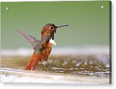 Allen's Hummingbird Acrylic Print by Thy Bun