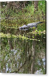 Alligator In Swamp Acrylic Print