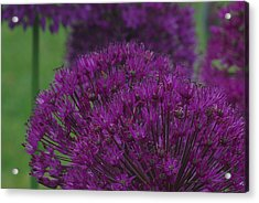 Acrylic Print featuring the photograph Allium 2 by Ken Dietz