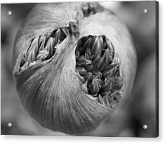 Acrylic Print featuring the photograph Allium Bud by Inge Riis McDonald
