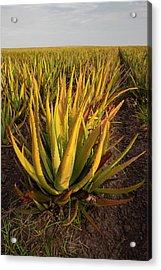 Aloe Growing As A Crop Acrylic Print