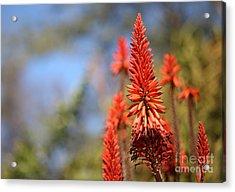 Aloe Succotrina  Acrylic Print by Nicholas Burningham