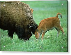 American Bison Cow And Calf Acrylic Print by Suzi Eszterhas