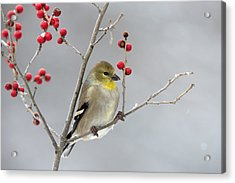 American Goldfinch In Winter Acrylic Print by Scott Leslie