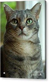 American Shorthair Cat Profile Acrylic Print