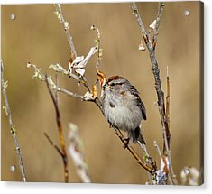 American Tree Sparrow Acrylic Print by Doug Lloyd