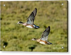 American Wigeon Pair In Flight Acrylic Print by Anthony Mercieca
