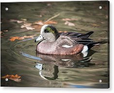American Wigeon Acrylic Print by Tyson and Kathy Smith