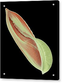 Amphiprora Diatom Acrylic Print by Steve Gschmeissner