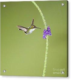 Acrylic Print featuring the photograph Andean Emerald Hummingbird by Dan Suzio