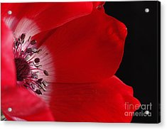Anemone Acrylic Print by Rebeka Dove