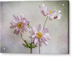 Anemones Acrylic Print by Mandy Disher