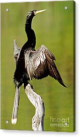 Anhinga Anhinga Anhinga Drying Plumage Acrylic Print by Millard H. Sharp