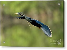 Anhinga Acrylic Print by Anthony Mercieca