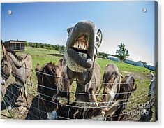 Animal Personalities Silly Talking Donkey With Whiskers Acrylic Print by Jani Bryson