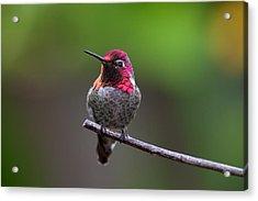 Anna's Hummingbird Acrylic Print by Thy Bun
