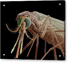 Anopheles Mosquito Acrylic Print by Clouds Hill Imaging Ltd