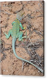 Another Collared Lizard Acrylic Print by Susan Woodward