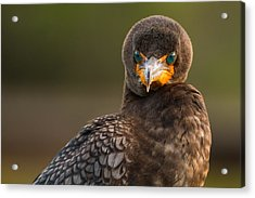 Another Cormorant Face Off Acrylic Print