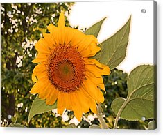 Another Sunflower Acrylic Print by Victoria Sheldon