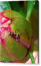 Ant On Peony Bud Acrylic Print by Barb Baker