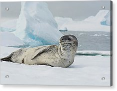 Antarctica Charlotte Bay Leopard Seal Acrylic Print by Inger Hogstrom