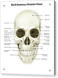 Anterior View Of Human Skull Acrylic Print by Alan Gesek
