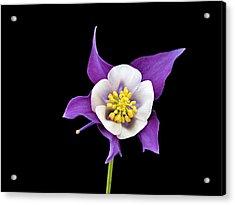 Aquilegia - Purple Acrylic Print