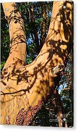 Arbutus Tree Acrylic Print