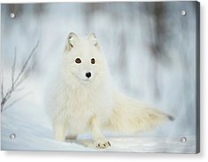 Arctic Fox In The Snow Acrylic Print by Dr P. Marazzi/science Photo Library