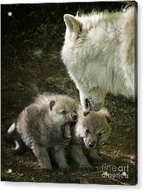 Arctic Wolf Pups Acrylic Print