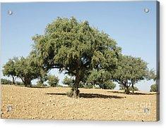 Argan Trees Argania Spinosa Acrylic Print