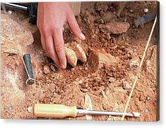 Atapuerca Fossil Excavation Acrylic Print by Javier Trueba/msf/science Photo Library