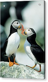 Atlantic Puffins (fratercula Arctica Acrylic Print by Richard and Susan Day