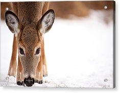 Attention Acrylic Print by Karol Livote