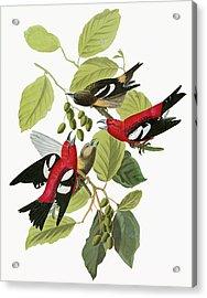 Audubon Crossbill Acrylic Print by Granger