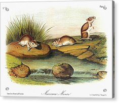 Audubon Mouse Acrylic Print by Granger