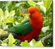 Acrylic Print featuring the photograph Australian King Parrot by Margaret Stockdale